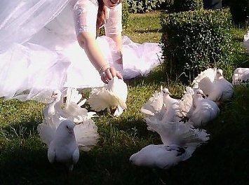 Porumbei de Nunti Nunta Pitesti